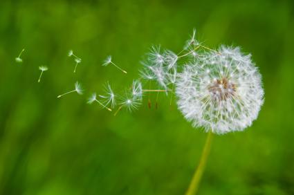 A dandelion seed head blowing in the wind